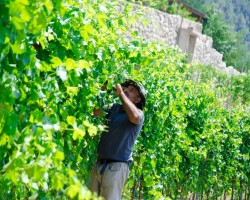 Manual care of the vine